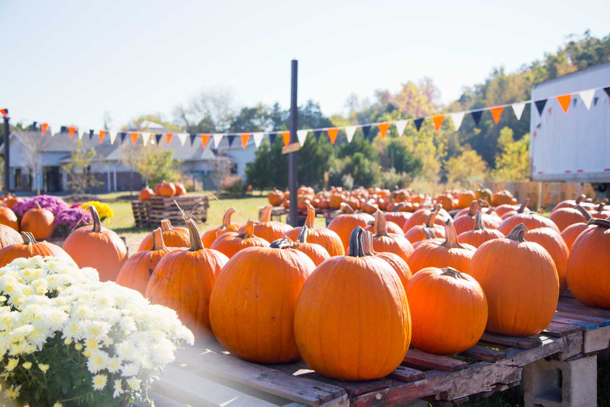 A festive pumpkin patch has black and orange pennant flags in the background.