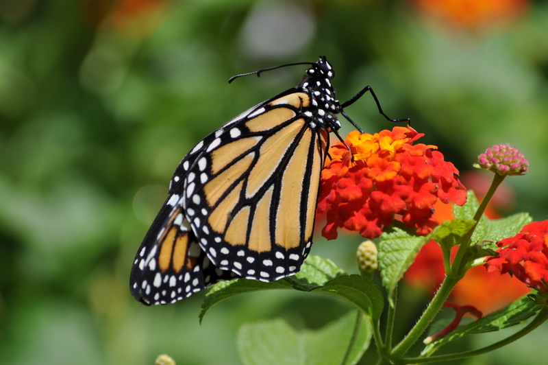 Planting a butterfly garden for kids
