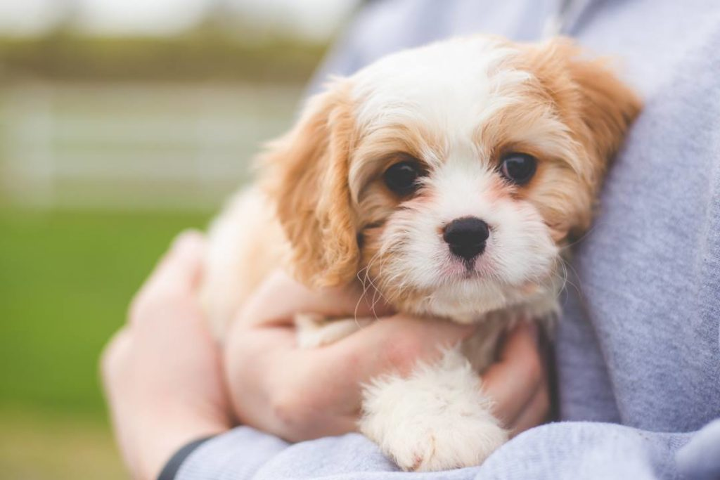 Meet Daisy Mae the Cavachon